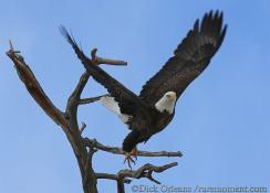 Golden Eagle at Lake Estes