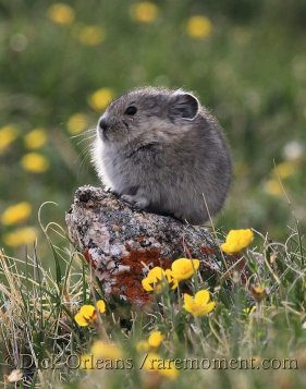 A baby pika at home