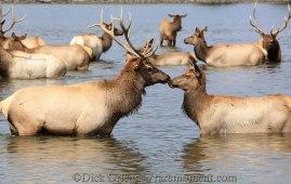 Romancing Elk